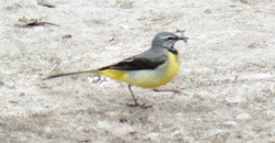 Grey wagtail collecting bugs