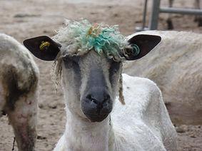 Wensleydale sheep freshly shawn