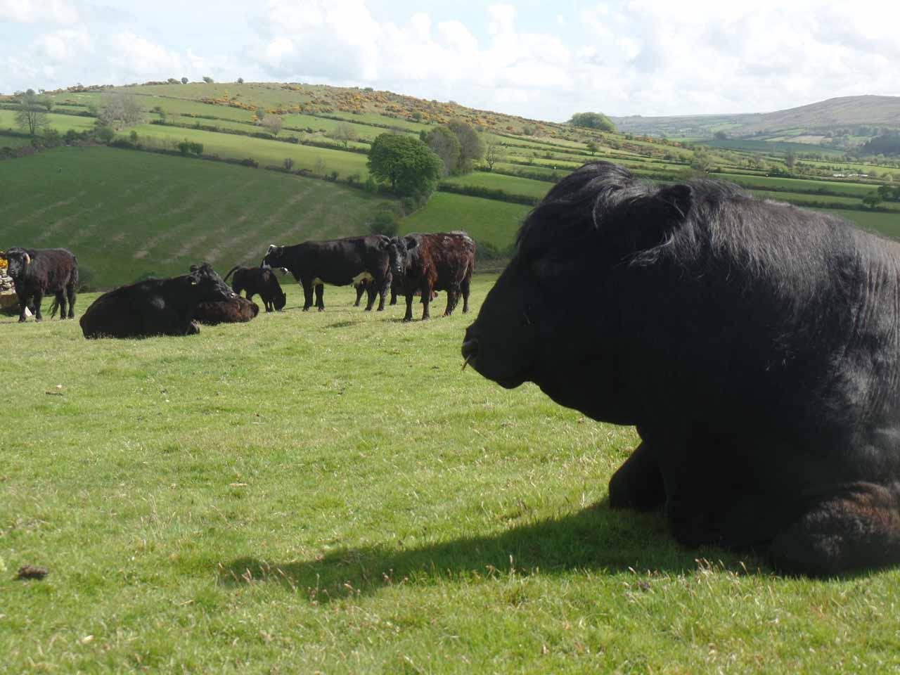 Welsh Black cattle