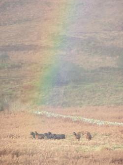 Dartmor ponies
