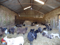Our lambing shed