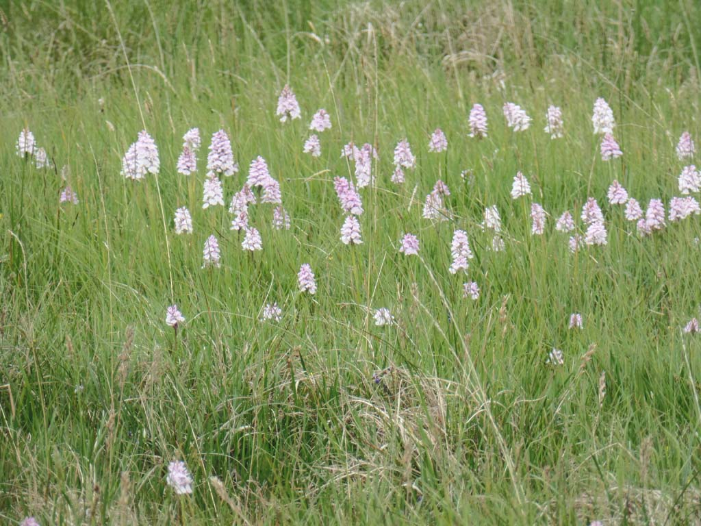 Marsh orchids on Dartmoor