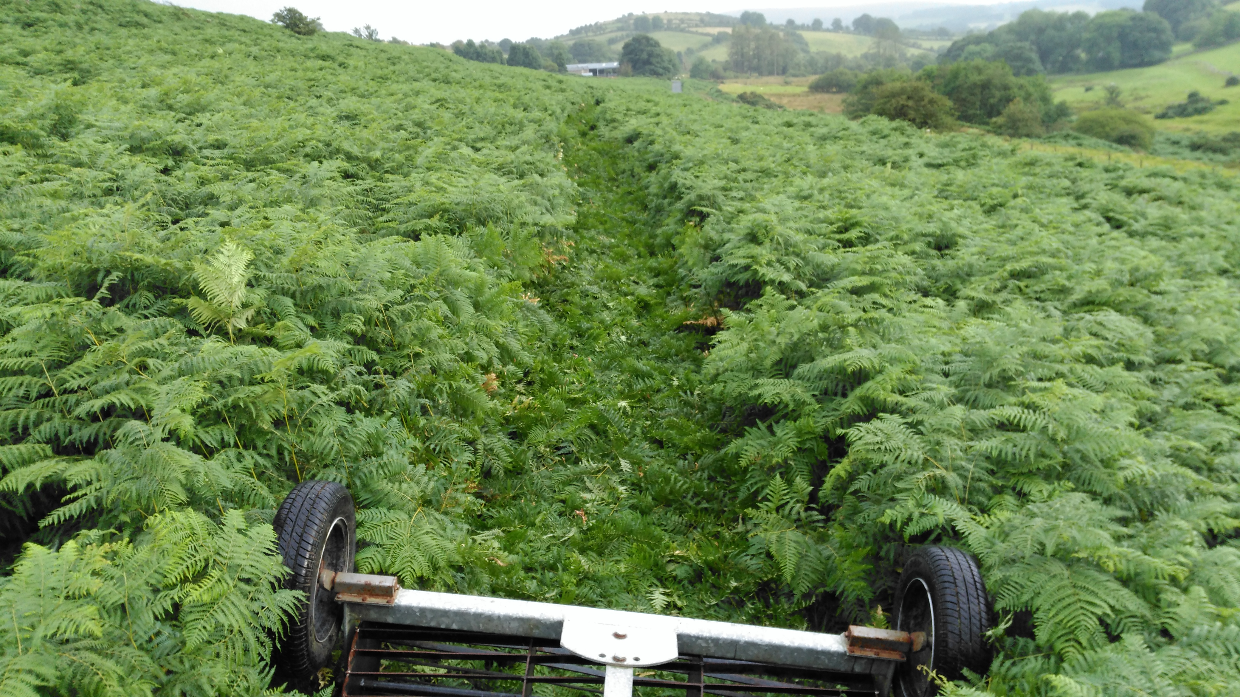 Rolling bracken to reduce its growth