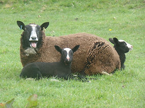 Zwartble ewe and lambs
