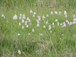 Marsh Orchids in our Rhos pasture