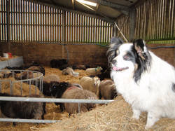 Our lambing shed and 'sheep dog'