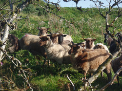 Our sheep in the Autumn sunshine