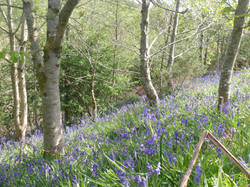 Bluebells in our young wood