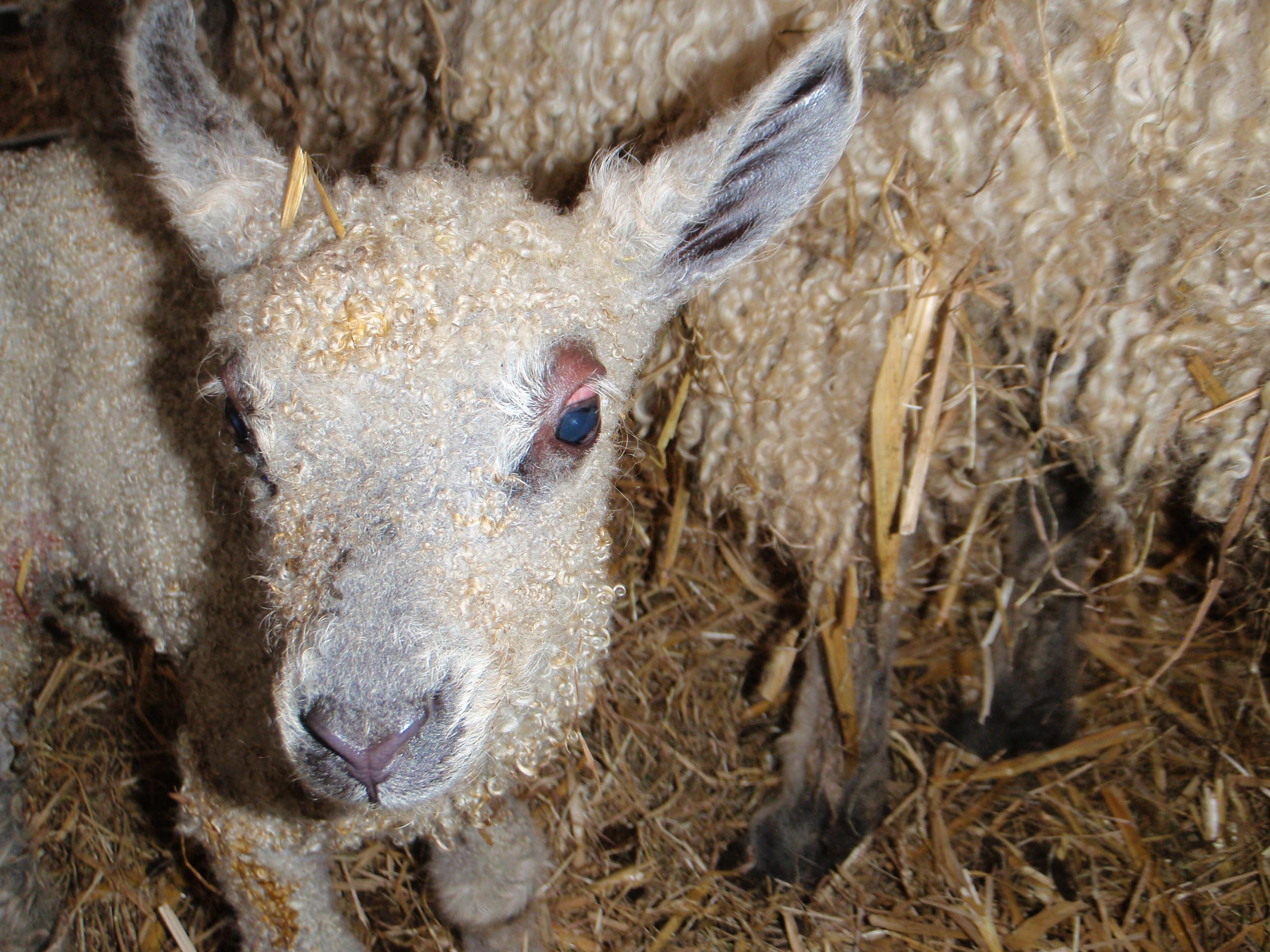 Wensleydale lamb
