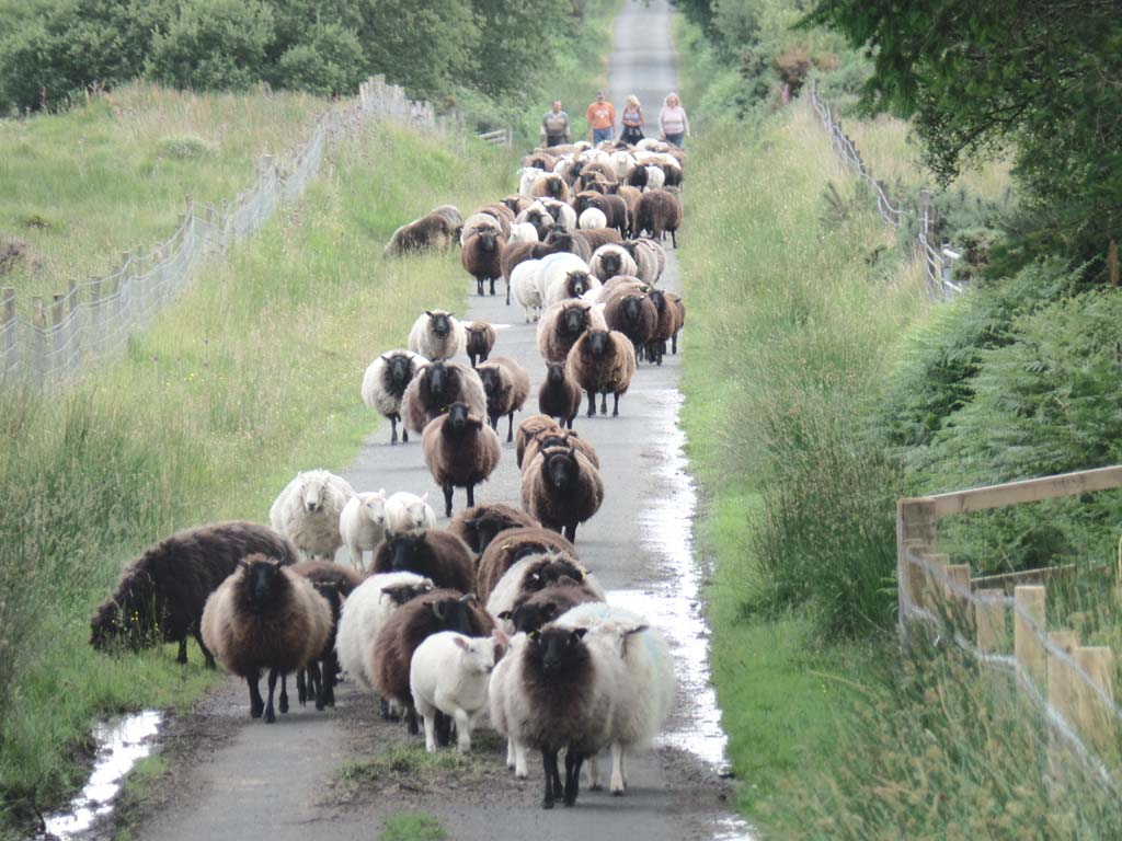 Gathering our sheep