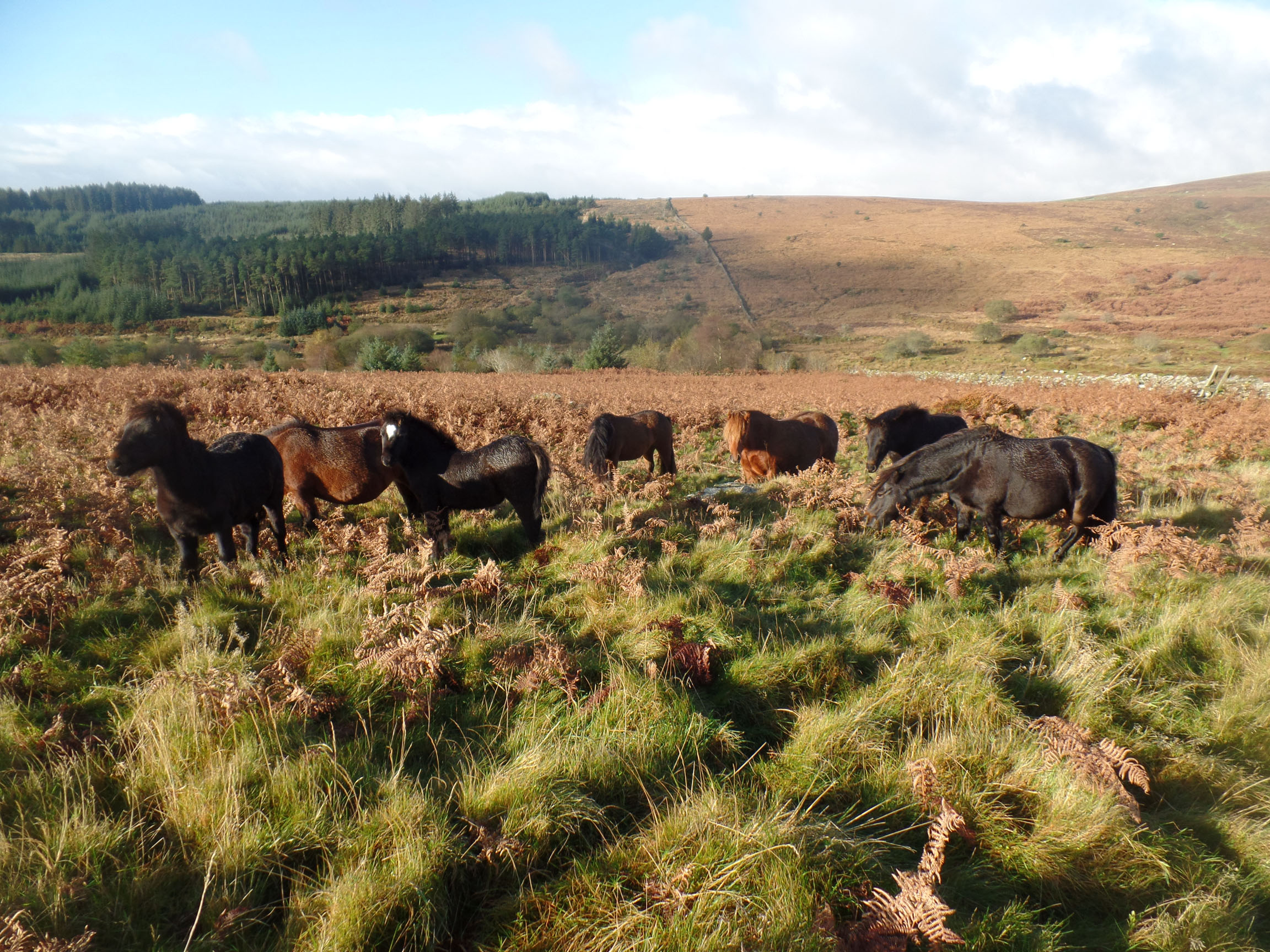 Visiting Dartmoor ponies
