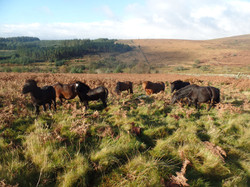 Ponies grazing off the coarse grass