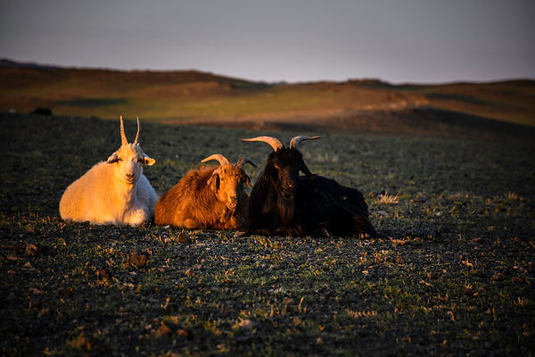 Mongolia_Cashmere_1.jpg