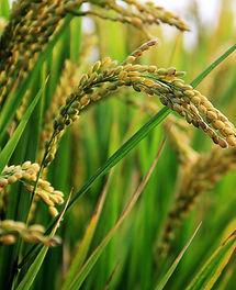 Myanmar_Rice.jpg