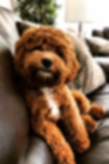 Cavapoochon sitting on the couch