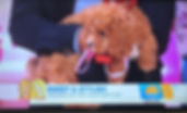 Bella the cavapoochon on USA today!