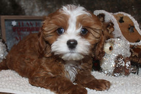 Beautiful white and brown cavapoochon puppy