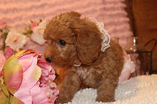 Newborn cavapoochon puppy all dressed up!