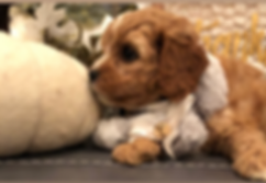 Cavapoochon puppy poses for photos!