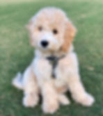 White cavapoochon puppy goes to the park!