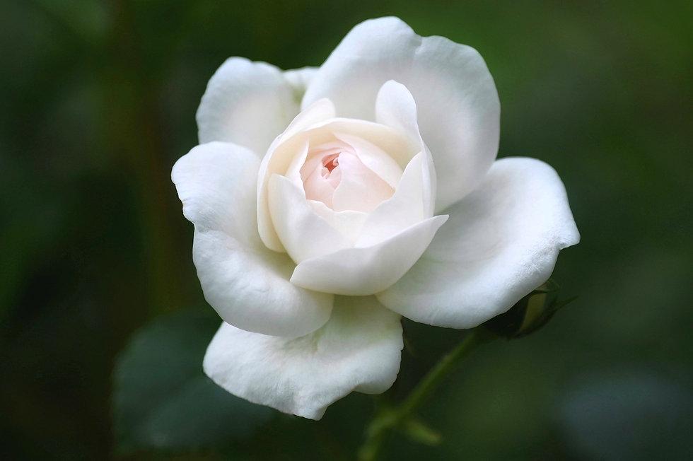 rose-5321336_1920.jpg