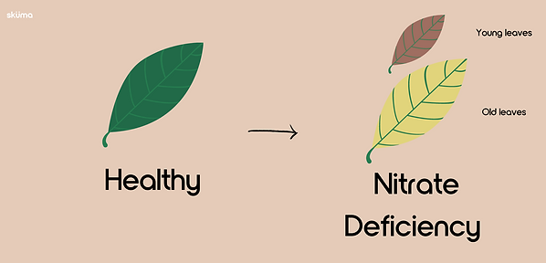 Nitrate Deficiency for plants