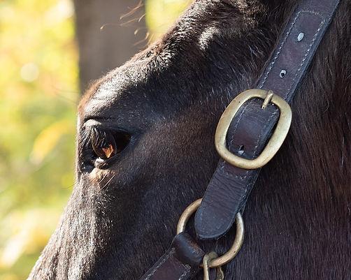 horse halter eye.jpg