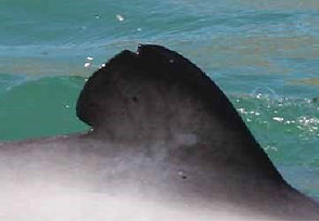 Maui dolphin fin