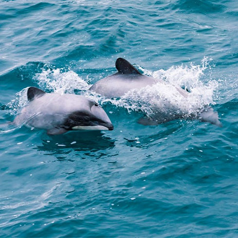 Maui dolphins swimming