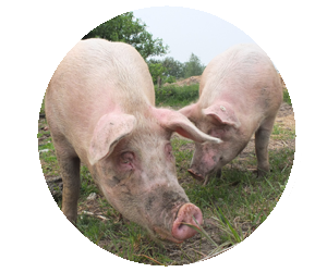 Lincoln County Fair Nebraska 4-H Open Class Pig Swine