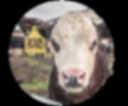 Lincoln County Fair Nebraska 4-H Open Class Beef Cattle