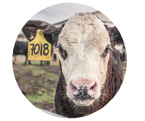 Lincoln County Fair Nebraska 4-H Open Class Beef Cattle Cow Calf