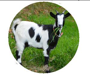 Lincoln County Fair Nebraska 4-H Open Class Goats