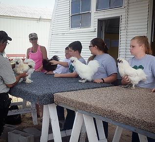 lincoln county fair, 2020 fair, lincoln county ag society, north platte, nebraska, chicken, poultry, hen, rooster, duck, goose, 4H, university of lincoln extension, ffa