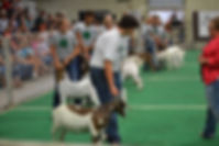 lincoln county 4H, goat, livestock, show, fair, county fair, beef barn, arena, north platte, nebraska, ne