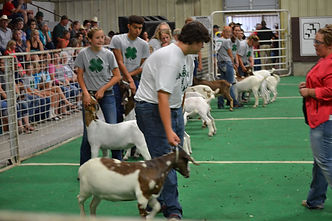 lincoln county 4H, goat, livestock, show, fair, county fair, beef barn, arena, north platte, nebraska, ne