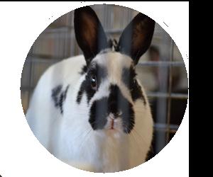 Lincoln County Fair Nebraska 4-H Open Class Rabbit Bunny