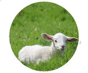 Lincoln County Fair Nebraska 4-H Open Class Sheep