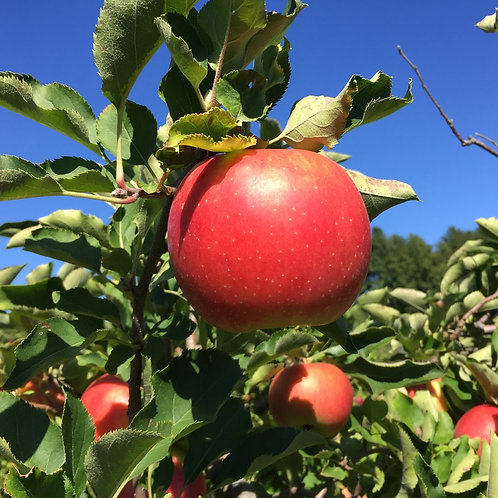 Apple-icious