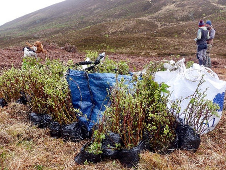 3000 CAP Trees Planted at Alladale Wilderness Reserve, Scotland