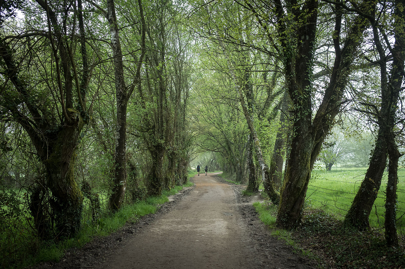 Trees line the section of the Camino in Galicia.