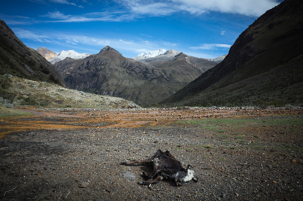 A bovine carcass lies undisturbed in a river bed at the head of Quebrada Cayesh.