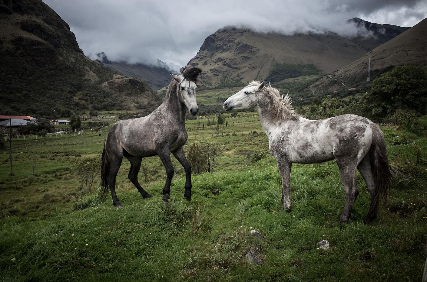 Mares on a finca in Cajas National Park near Cuenca, Ecuador.