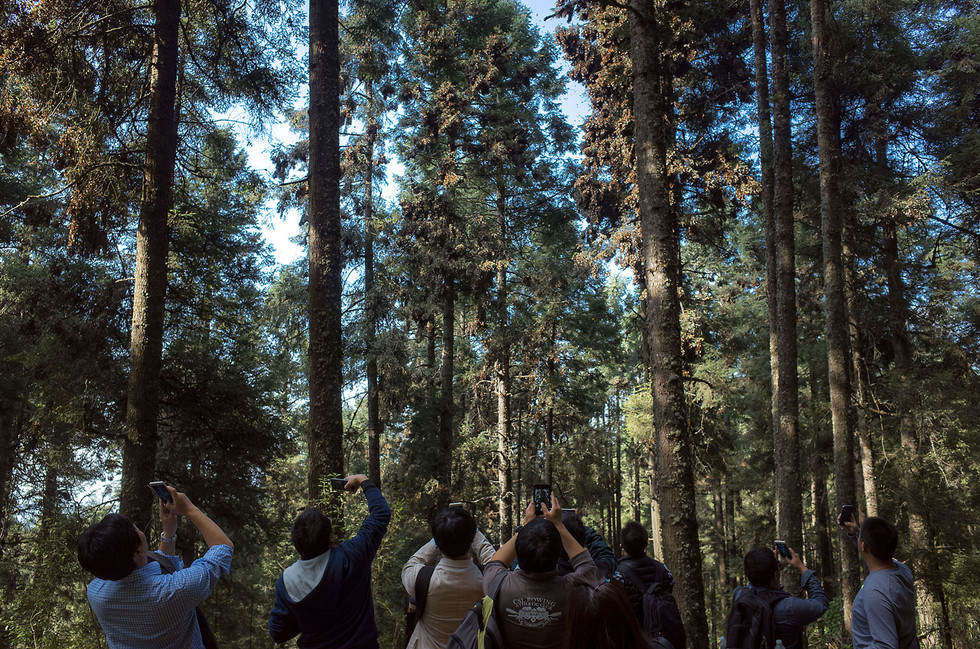 A group of tourists take photographs of the wintering monarch butterflies in the Reserva Biosfera de las Mariposas Monarcas. Each year, monarchs from Canada and the United States make the 4000 mile journey to the same small forest in central Mexico.