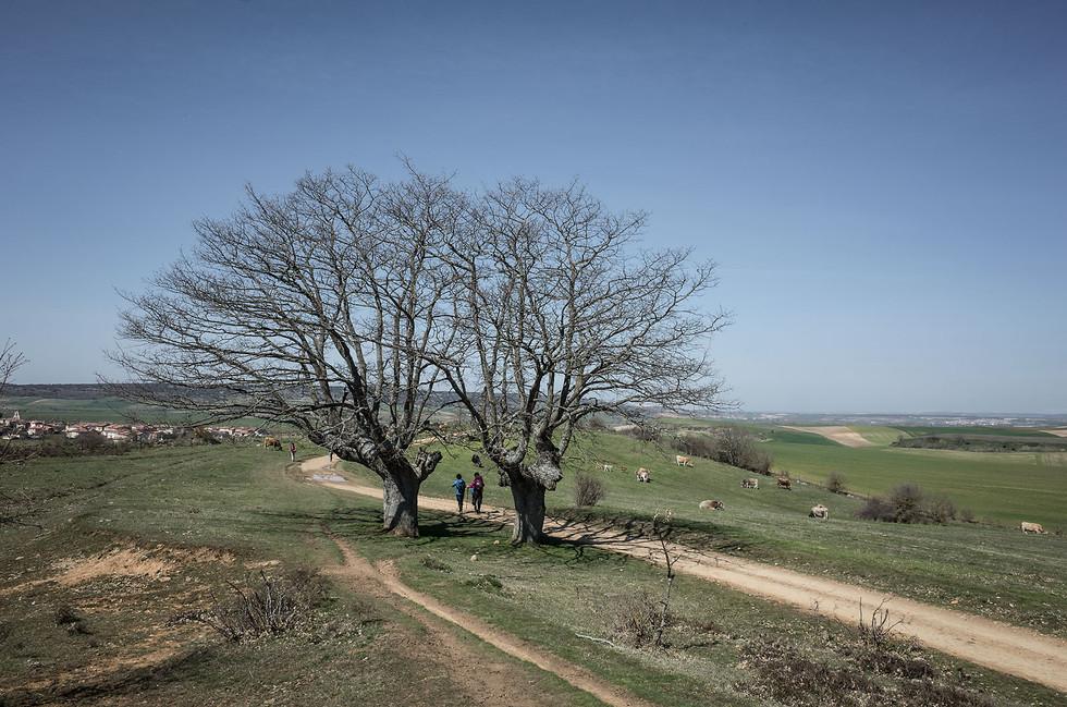 Pilgrims pass a rarity: trees on the Meseta.