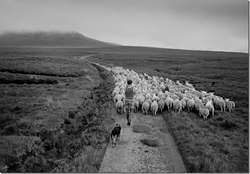 Cape Wrath Sheep - by David Peat