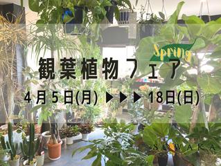 ●お知らせ●「観葉植物フェア」4月開催!