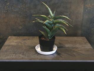 サンセベリア・ブルーキュー|SOWAKAの植物