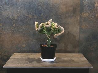 マハラジャ SOWAKAの植物