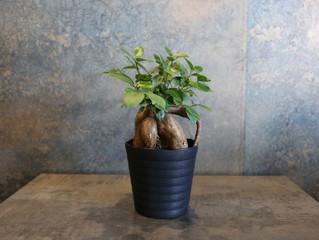ガジュマル SOWAKAの植物